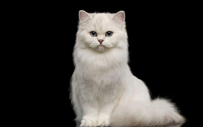 Sen o bílé kočce