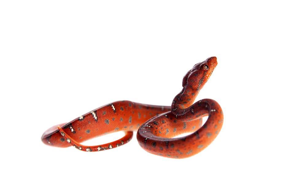 Červený had ve snu