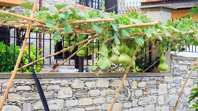 Lagenárie: Nápaditá rostlina z jihovýchodní Asie, kterou můžete oživit pergolu a ohromit sousedy