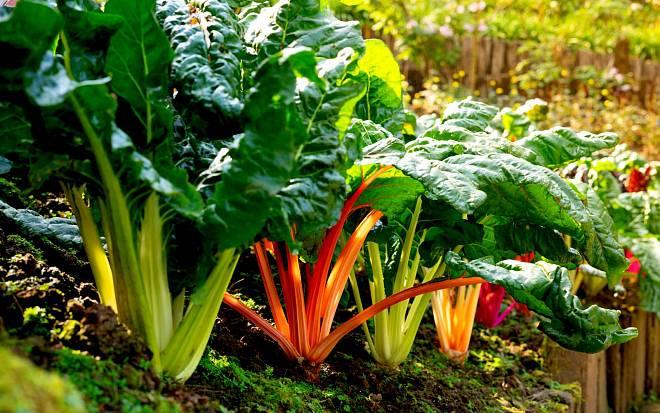 Mangold, opomenutá listová zelenina aneb zkuste barevný špenát